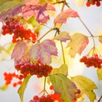 autumn - summer snowball tree dreamstime_l_10406864