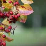 Berries ID-1006795 (2)