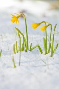 Daffodil Blooming Through The Snow by - Marcus Free Digital Photos